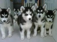 Sakhalin Husky Puppies for sale in Baltimore, MD, USA. price: NA