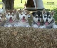 Sakhalin Husky Puppies for sale in Jackson, MS, USA. price: NA