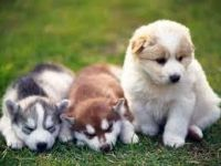 Sakhalin Husky Puppies for sale in St. Louis, MO, USA. price: NA