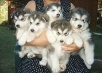 Sakhalin Husky Puppies for sale in Manchester, NH, USA. price: NA