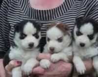 Sakhalin Husky Puppies for sale in Jersey City, NJ, USA. price: NA