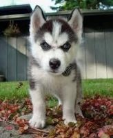 Sakhalin Husky Puppies for sale in Fargo, ND, USA. price: NA