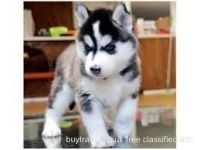Sakhalin Husky Puppies for sale in Cleveland, OH, USA. price: NA