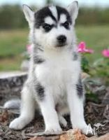 Sakhalin Husky Puppies for sale in Oklahoma City, OK, USA. price: NA