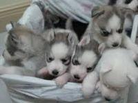 Sakhalin Husky Puppies for sale in United States Postal Service, 100 PR-3, San Juan, 00924, Puerto Rico. price: NA