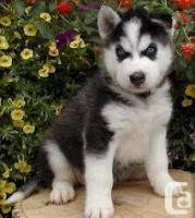 Sakhalin Husky Puppies for sale in Charleston, SC, USA. price: NA