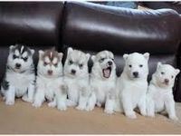 Sakhalin Husky Puppies for sale in Sioux Falls, SD, USA. price: NA