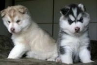 Sakhalin Husky Puppies for sale in El Paso, TX, USA. price: NA