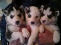 Sakhalin Husky Puppies for sale in Plymouth, VT, USA. price: NA