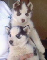 Sakhalin Husky Puppies for sale in Richmond, VA, USA. price: NA