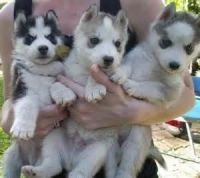 Sakhalin Husky Puppies for sale in Milwaukee, WI, USA. price: NA