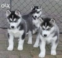 Sakhalin Husky Puppies for sale in Fort Laramie, WY, USA. price: NA