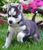 Sakhalin Husky Puppies for sale in Addison, ME, USA. price: NA