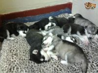 Sakhalin Husky Puppies for sale in Aurora, CO, USA. price: NA