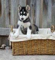 Sakhalin Husky Puppies for sale in Scottsdale, AZ, USA. price: NA