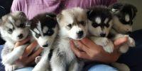 Sakhalin Husky Puppies for sale in Mesa, AZ, USA. price: NA