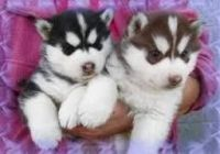 Sakhalin Husky Puppies for sale in Colorado Springs, CO, USA. price: NA