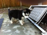 Sakhalin Husky Puppies for sale in Dallas, TX, USA. price: NA