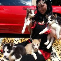 Sakhalin Husky Puppies for sale in Rochester, NY, USA. price: NA