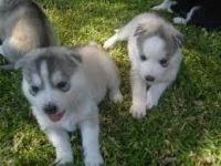 Sakhalin Husky Puppies for sale in San Antonio, TX, USA. price: NA