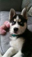Sakhalin Husky Puppies for sale in Glendale, AZ, USA. price: NA
