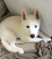 Sakhalin Husky Puppies for sale in New York, NY, USA. price: NA