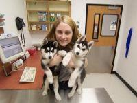 Sakhalin Husky Puppies for sale in Sacramento, CA, USA. price: NA