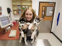 Sakhalin Husky Puppies for sale in Tampa, FL, USA. price: NA