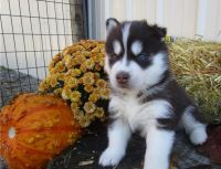 Sakhalin Husky Puppies for sale in Brownsville, TX, USA. price: NA