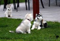 Sakhalin Husky Puppies for sale in Anchorage, AK, USA. price: NA