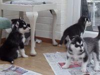 Sakhalin Husky Puppies for sale in Huntington Beach, CA, USA. price: NA