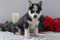 Sakhalin Husky Puppies for sale in Buffalo, NY, USA. price: NA