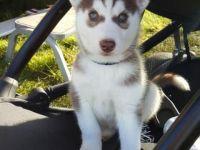 Sakhalin Husky Puppies for sale in Ashburn, GA 31714, USA. price: NA