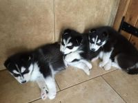 Sakhalin Husky Puppies for sale in Waco, TX, USA. price: NA