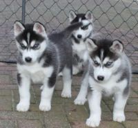 Sakhalin Husky Puppies for sale in Lexington, KY, USA. price: NA
