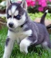 Sakhalin Husky Puppies for sale in Los Angeles, CA, USA. price: NA