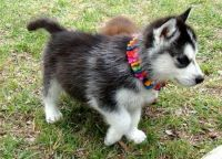 Sakhalin Husky Puppies for sale in New Orleans, LA, USA. price: NA