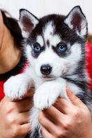 Sakhalin Husky Puppies for sale in Washington, DC, USA. price: NA