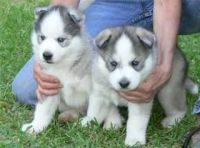 Sakhalin Husky Puppies for sale in Hampton, VA, USA. price: NA