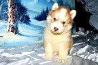 Sakhalin Husky Puppies for sale in Atlanta, GA, USA. price: NA