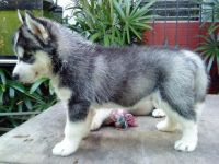 Sakhalin Husky Puppies for sale in Mountain View, WY 82933, USA. price: NA