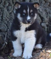 Sakhalin Husky Puppies for sale in Boulder, CO, USA. price: NA
