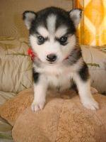 Sakhalin Husky Puppies for sale in Kent, WA, USA. price: NA
