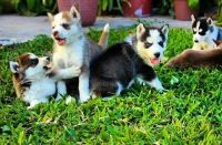 Sakhalin Husky Puppies for sale in Adelanto, CA, USA. price: NA