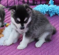 Sakhalin Husky Puppies for sale in Philadelphia, PA, USA. price: NA