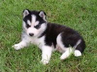 Sakhalin Husky Puppies for sale in Houston, TX, USA. price: NA