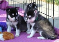 Sakhalin Husky Puppies for sale in Syracuse, NY, USA. price: NA