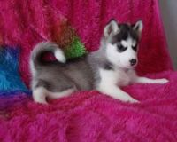 Sakhalin Husky Puppies for sale in Grand Prairie, TX, USA. price: NA