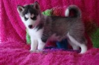 Sakhalin Husky Puppies for sale in Baton Rouge, LA, USA. price: NA