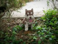 Sakhalin Husky Puppies for sale in Fort Worth, TX, USA. price: NA